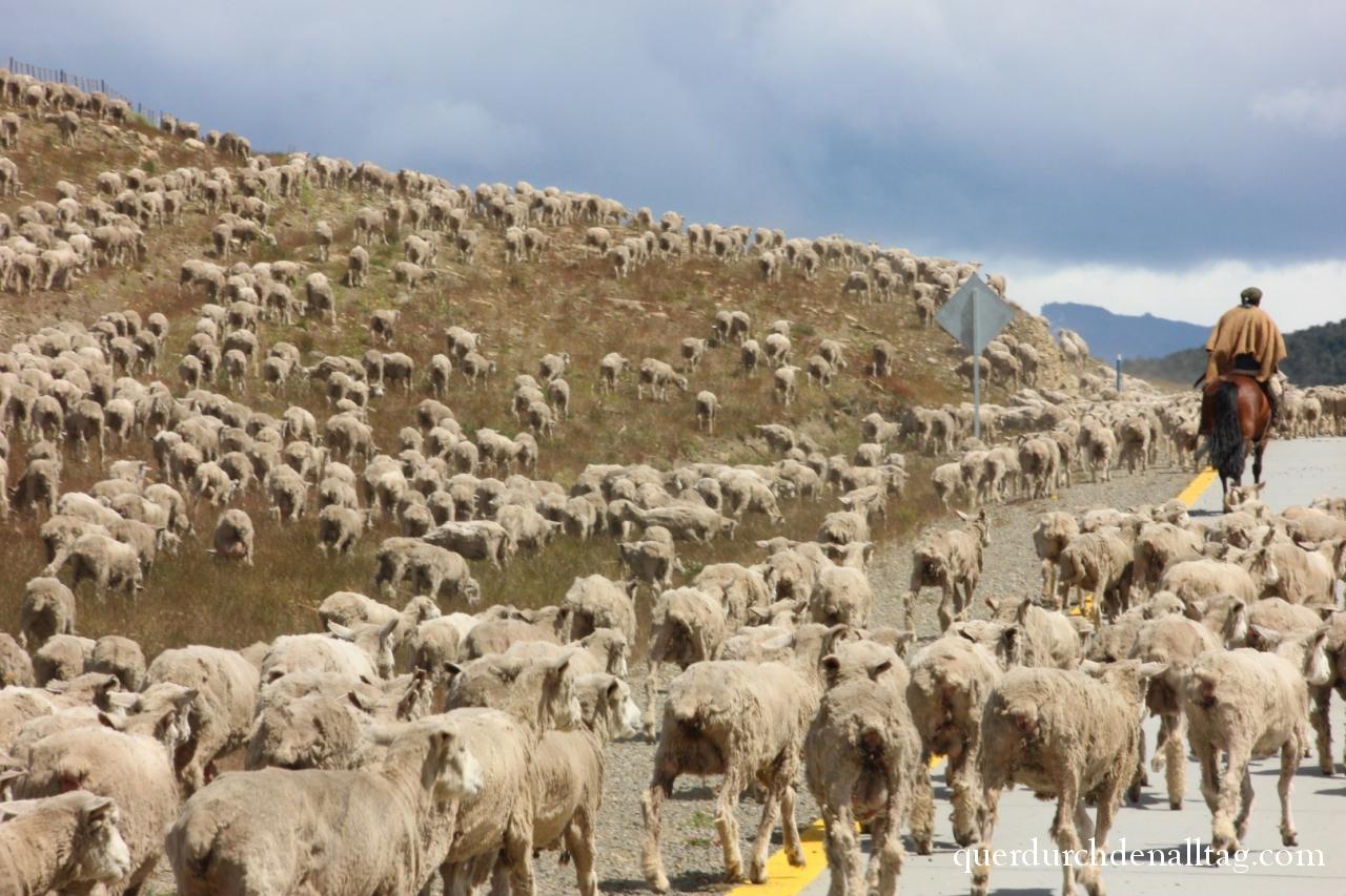 Schafherde in Patagonien