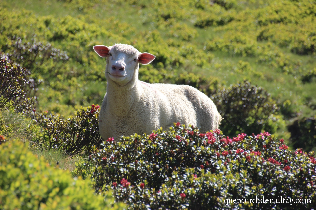 Schaf in Alpenrosen