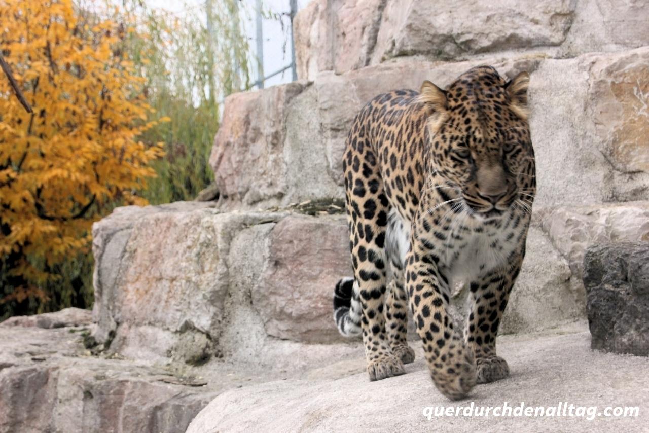 Leopard in Tonis Zoo Rothenburg Luzern