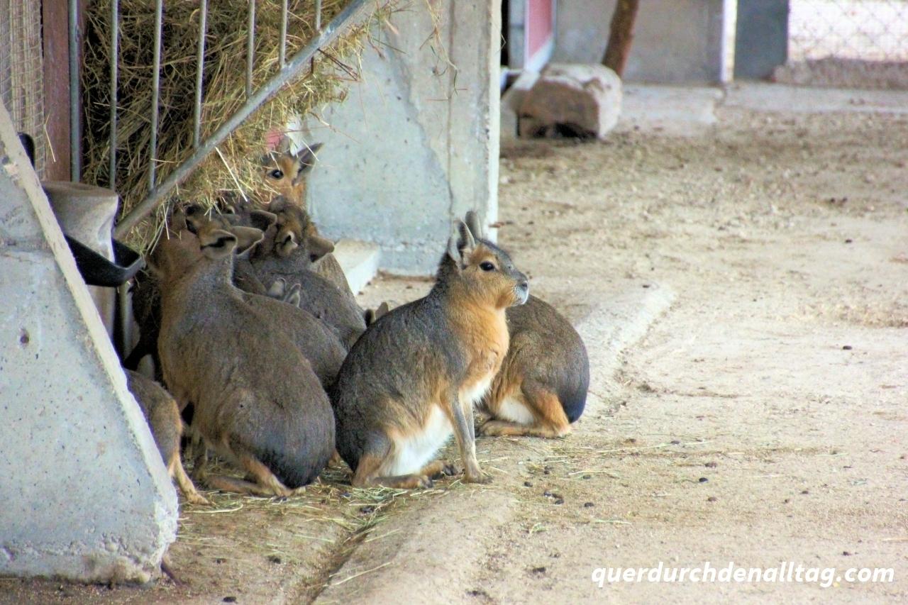 Pampashasen in Tonis Zoo Rothenburg Luzern