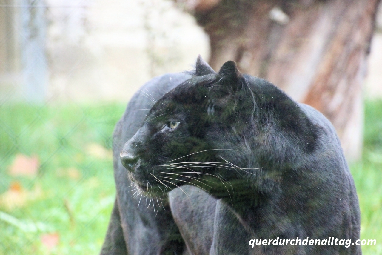 Schwrazer Panther in Tonis Zoo Rothenburg Luzern