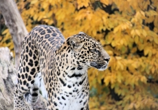Leopard in Tonis Zoo Rothenburg Luzern
