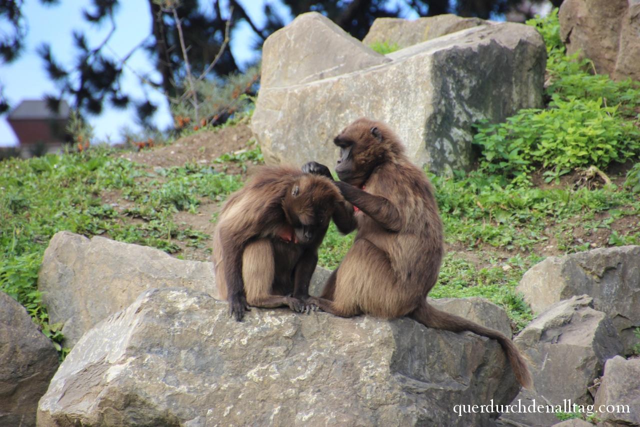 Dschelada Affen