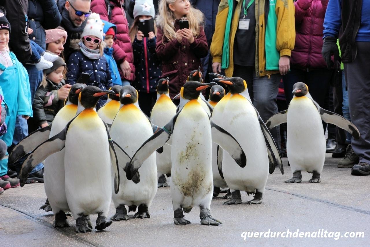 Zoo Zürich Königspinguin Parade
