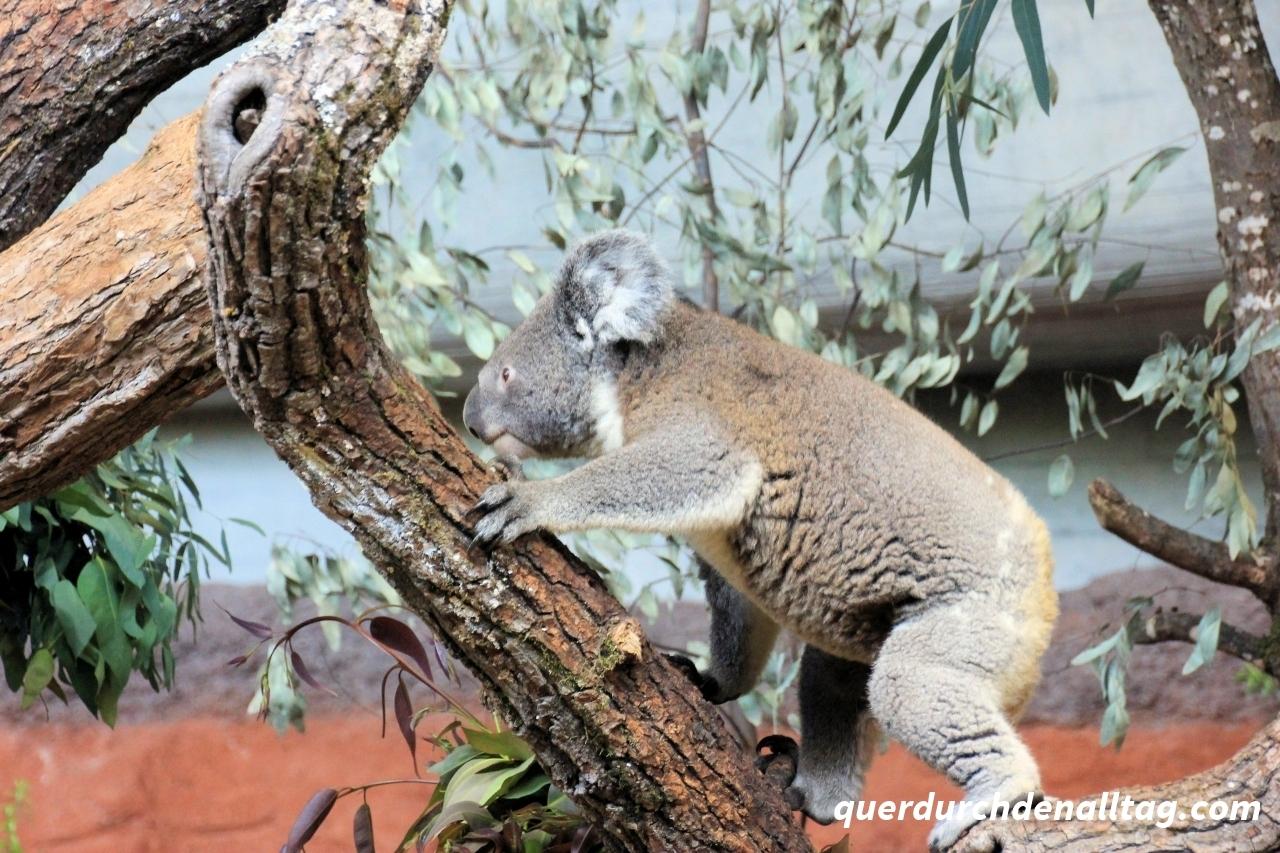 Zoo Zürich Koala
