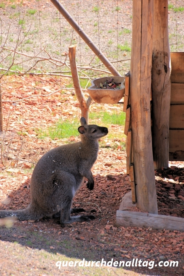 Zoo Zürich Bennet-Wallaby