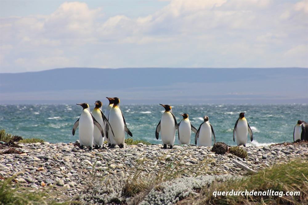 Patagonien Königspinguine