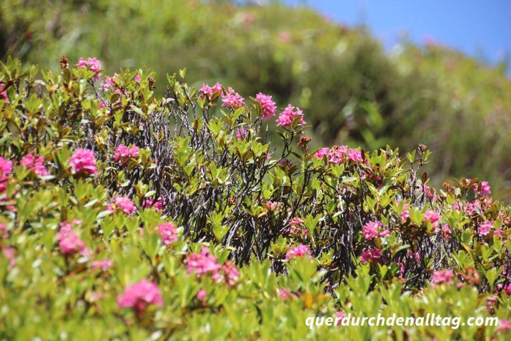 Bewegung Wandern Sustlihütte Alpenrosen
