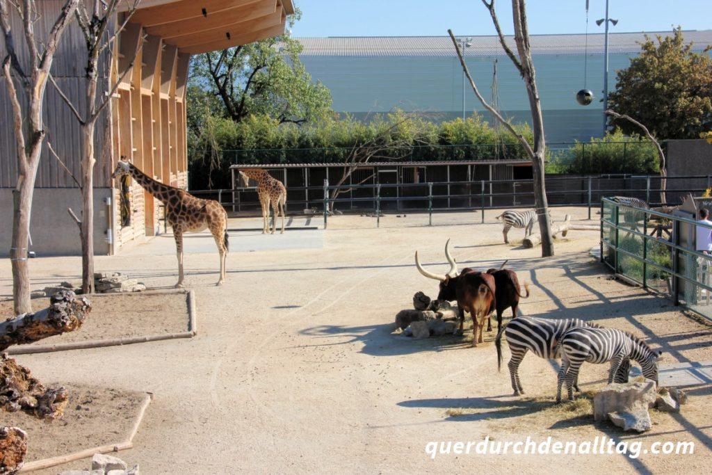 Knie Kinderzoo Rapperswil Giraffe Zebra