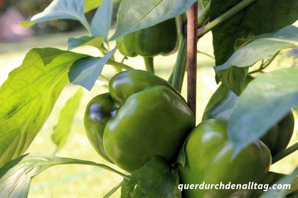 Garten Gemüse Peperoni