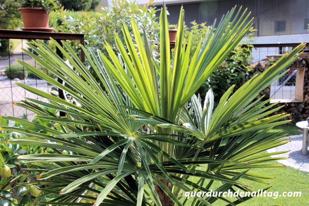 Garten Palme